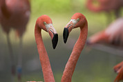 Flamingos Art - Greater Flamingo Phoenicopterus Ruber by Cyril Ruoso