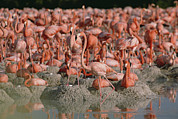 Animal Behaviour Art - Greater Flamingo Phoenicopterus Ruber by Gerry Ellis