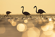 Flamingos Prints - Greater Flamingo Phoenicopterus Ruber Print by Konrad Wothe