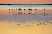 Sunset Reflecting In Water Prints - Greater flamingos in pond at sunset Print by Sami Sarkis