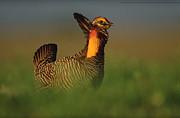 Greater Prairie Chicken Male Print by Tim Fitzharris