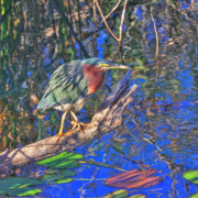 John Rowe - Green Heron on Red Alert