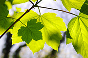 Light Blue Photos - Green Leaves by Carlos Caetano
