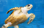 Green Sea Turtle Photos - Green Sea Turtle 2 by Marilyn Hunt