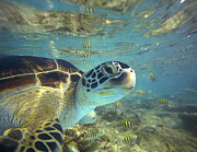 Waist Up Posters - Green Sea Turtle Balicasag Island Poster by Tim Fitzharris