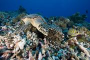 Two Islands Photos - Green Sea Turtle Chelonia Mydas by Tim Laman