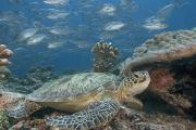 Seafloor Prints - Green Sea Turtle Print by Dave Fleetham - Printscapes