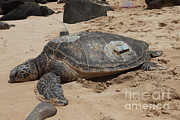 Gps Posters - Green Sea Turtle With Gps Poster by Ted Kinsman