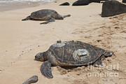 Green Sea Turtle Photos - Green Sea Turtles With Gps by Ted Kinsman