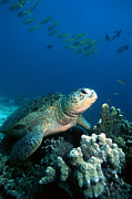 Green Sea Turtle Photos - Green Turtle by Georgette Douwma
