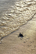 Green Sea Turtle Photos - Green Turtle Hatchling by Matthew Oldfield