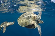 Underwater Conservation Posters - Green Turtles Mating Poster by Matthew Oldfield