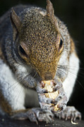 Grasp Posters - Grey Squirrel Poster by Georgette Douwma