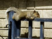Grey Squirrel Print by Mike Lester