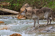 Wolf Creek Posters - Grey wolf crossing a mountain stream Poster by Louise Heusinkveld