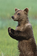 Clapping Metal Prints - Grizzly Bear Cub Playing Katmai Metal Print by Suzi Eszterhas