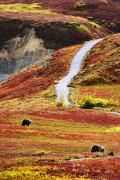 Without People Photos - Grizzly Bears And Fall Colours, Denali by Yves Marcoux