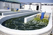 Pisciculture Prints - Growing Algae For Fish Food Print by Photostock-israel