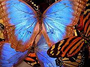 Guatemala Butterflies Print by Cheryl Ehlers