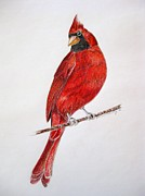 Cardinals Drawings - Happy Cardinal by Kathrine McMurray