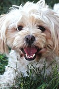 Canine Posters Photos - Happy Dog by Lisa  DiFruscio