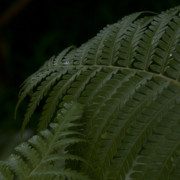And Forests Digital Art - Hapuu Pulu Hawaiian Tree Fern  by Sharon Mau