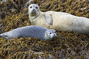 Three-quarter Length Prints - Harbor Seal Mother And Pup Katmai Print by Suzi Eszterhas