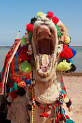 Camel Photos - Hard day at the office by Pete Reynolds