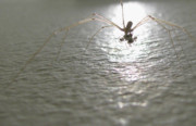 Harvestmen Photos - Harvestman by Sidsel Genee