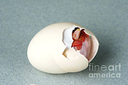Baby Bird Prints - Hatching Chicken Print by Ted Kinsman