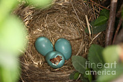 Baby Bird Framed Prints - Hatching Robin Nestlings Framed Print by Ted Kinsman