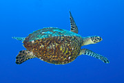 Hawksbill Sea Turtle, Kimbe Bay, Papua Print by Steve Jones