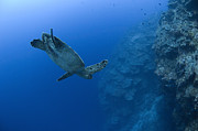 Hawksbill Sea Turtle Posters - Hawksbill Turtle In The Diving Poster by Steve Jones