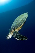 Underwater Conservation Posters - Hawksbill Turtle Poster by Matthew Oldfield