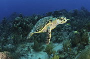 Hawksbill Sea Turtle Posters - Hawksbill Turtle On Caribbean Reef Poster by Karen Doody