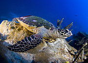 Cheloniidae Prints - Hawksbill Turtle Resting On A Reef Print by Steve Jones