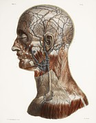 Vol Posters - Head And Neck Anatomy, Historical Artwork Poster by