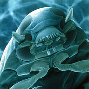 Whirligig Photos - Head Of A Whirligig Beetle, Sem by Power And Syred