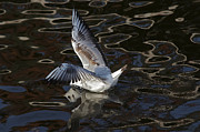 Lapwing Photos - Head Under Water by Michal Boubin