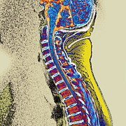 Backbone Posters - Healthy Spine Poster by Du Cane Medical Imaging Ltd