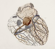 Vol Posters - Heart Anatomy, 19th Century Illustration Poster by