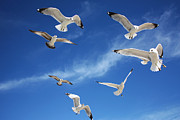 Flying Seagulls Framed Prints - Heavenly Seagulls Framed Print by Sheila Kay McIntyre