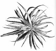 Bromeliad Drawings Prints - Hechtia argentea Print by Penrith Goff