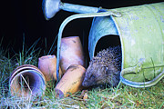 Flowerpots Framed Prints - Hedgehog Framed Print by David Aubrey