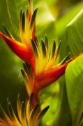 Heliconia Print by Dana Edmunds - Printscapes