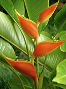 Waimea Falls Prints - Heliconia  Print by Kelly Headrick