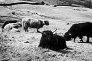 Kyloe Posters - Herd Of Red And Black Highland Cattle Glencoe Highlands Scotland Uk Poster by Joe Fox