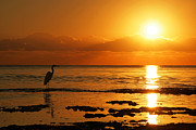 Wading Bird Prints - Heron at Sunrise Print by Matt Tilghman