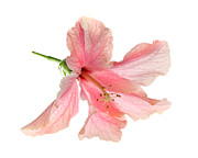 Delicate Bloom Prints - Hibiscus Print by Nicholas Burningham