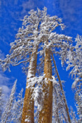 Snow Covered Pine Trees Prints - High Hopes Print by Chris Brannen